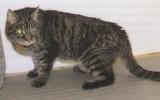 Остеоартрит у кошек