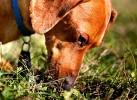 Копрофагия (стремление к поеданию кала) у собак