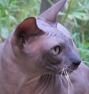 Болезни сфинксов (бесшерстных, голых, кошек)