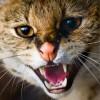 Агрессия между кошками