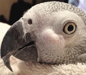 Микобактериоз у попугаев