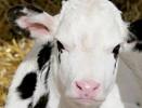Распространенные болезни молодняка КРС на молочных комплексах