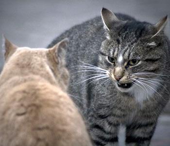 Агрессия между котами