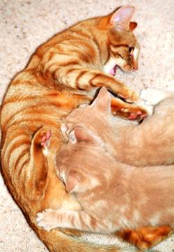 Продолжение рода у кошек