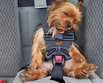 Если собаку укачивает в машине