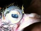Рис.1. Язва роговицы и гнойный конъюнктивит у птенца голубя