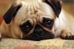 Воспалительные заболевания центральной нервной системы у собак